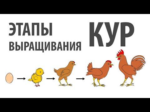 Выращивание кур - все этапы за 10 минут, от яйца до забоя.