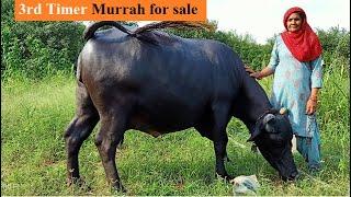 Low Cost Show Quality Murrah Buffaloes – Meta Morphoz