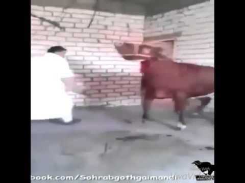 резать бычка видео