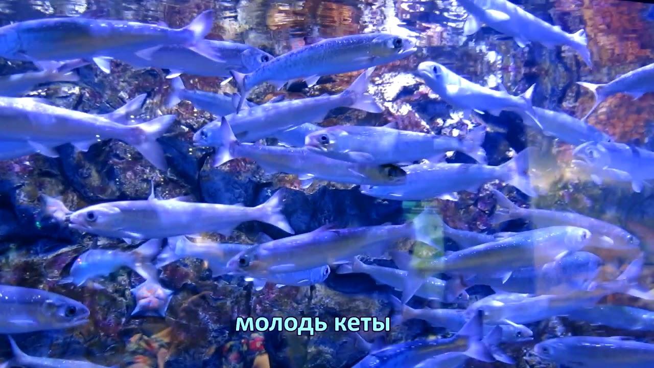 РЫБА КЕТА. Вторая по величине в семействе лососёвые (достигает более 1 м в длину).