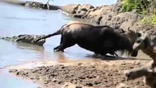 ЖИЗНЬ В ДИКОЙ ПРИРОДЕ РЕАЛЬНОЕ ВИДЕО  Animal Videos