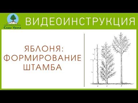 ЯБЛОНЯ: формирование штамба. Видеоинструкция от Питомника