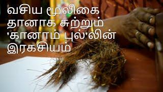 வசிய மூலிகை-தானாக சுற்றும் 'கானாம் புல்'லின் இரகசியம் Contact:+917845458791