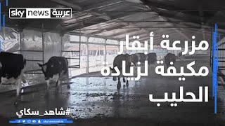 مزرعة أبقار مكيفة لزيادة الحليب