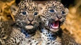 Дикая Природа ! Глаз Леопарда !!! Животные с National Geographic