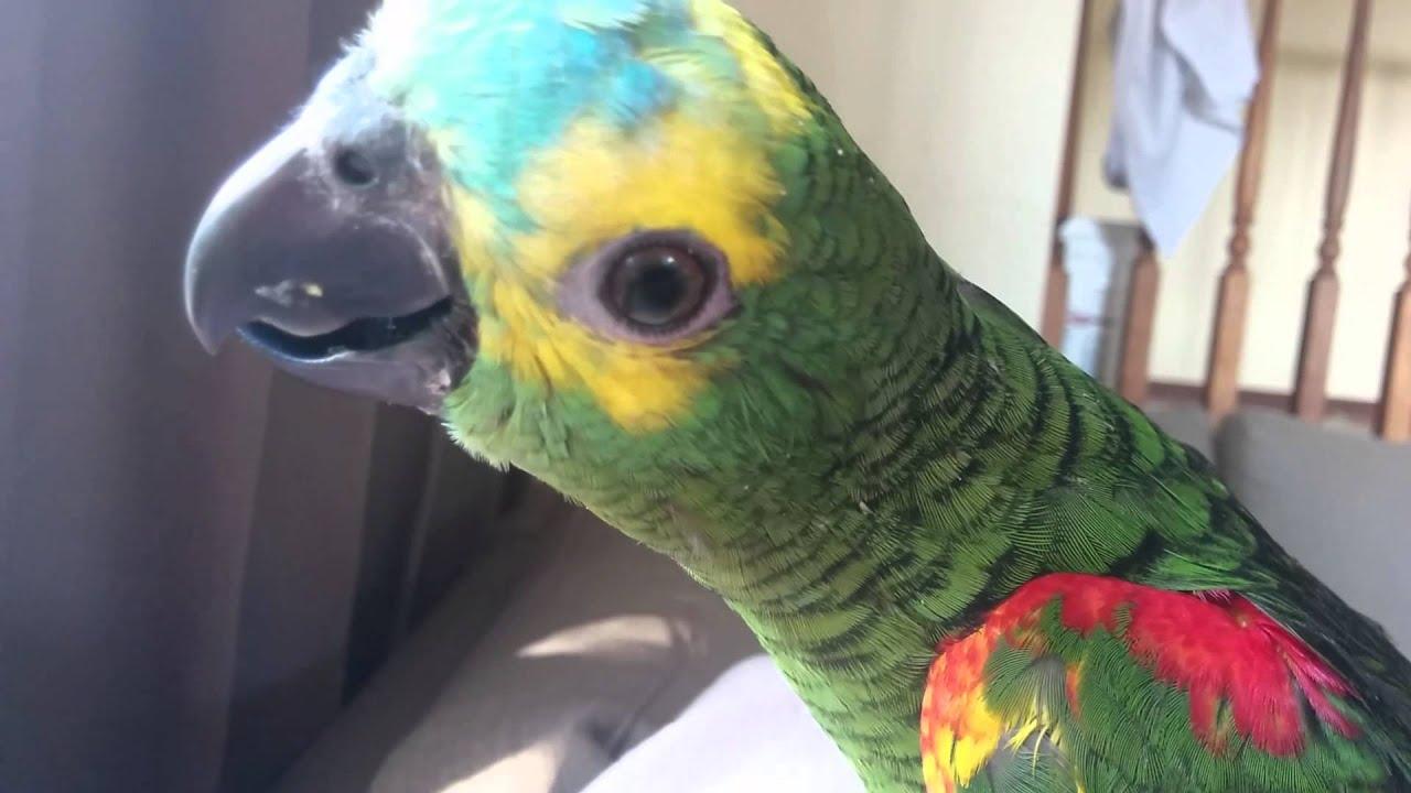Baby Blue Fronted Amazon Youtube