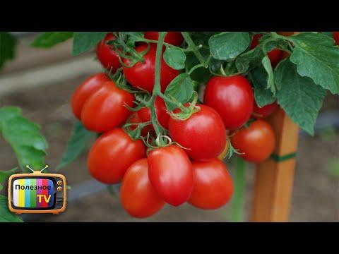 ЛУЧШИЕ ГИБРИДЫ ТОМАТОВ ДЛЯ ОТКРЫТОГО ГРУНТА НЕПРИХОТЛИВЫЕ И УРОЖАЙНЫЕ | урожайный | урожайные | помидоры | полезное | томатов | томаты | огород | лучшие | сорта | самые