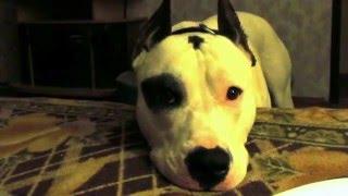 Гипноз собаки печенькой. Смешная собака, бровки