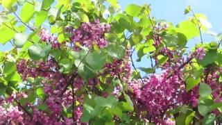 Красивое цветение Церциса-Багрянника,Иудиного дерева!Cercis siliguastrum.Кирьят-Ям.Израиль.