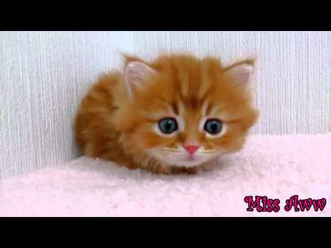 Thumbnail for Cat Video Adorable Orange Kitten with Blue Eyes