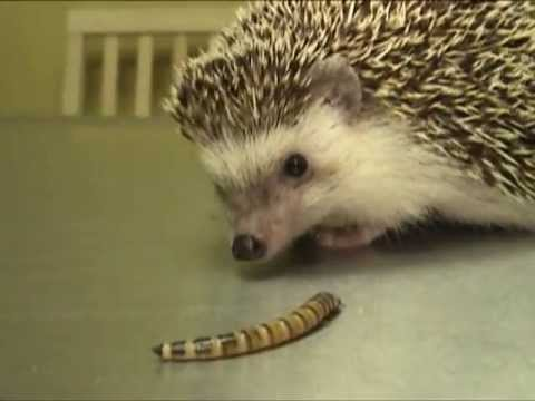 Hedgehog Eating A Superworm Exotic Pet Vet Unedited And
