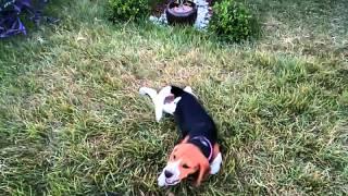 Beagle E Yorkshire Brincando.