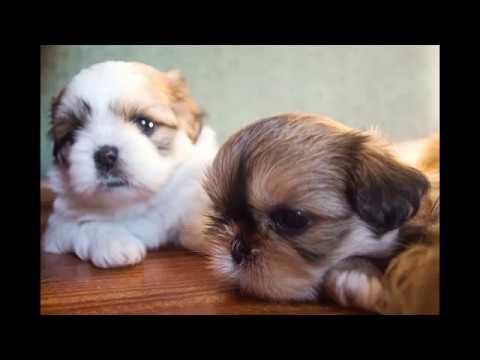 Shih Tzu - Dog Breed - Very Cute !!!