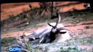Best of FAINTING GOATS