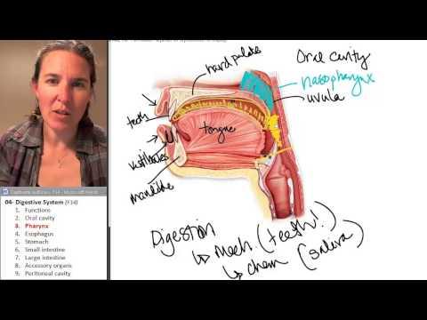 Pharynx (Digestive System) ☆ Human Anatomy Course