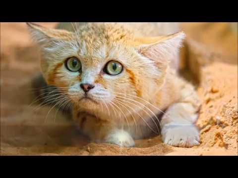 قطط الصحراء العربية القط البري والقط الرملي التهجين The Wildcat Youtube