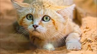 قطط الصحراء العربية القط البري والقط الرملي - التهجين The Wildcat