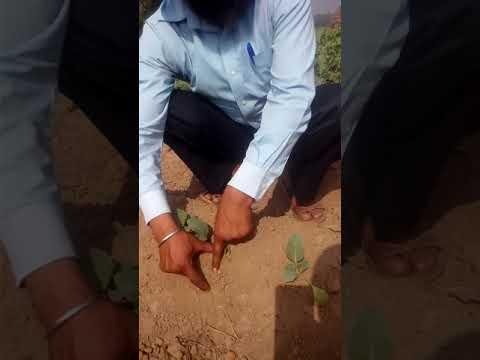 Vegetables Cultivation- cauliflower by Innovative Farmers Association IFA