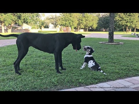 Great Dane Loves Playing With 8 Week Old Puppy