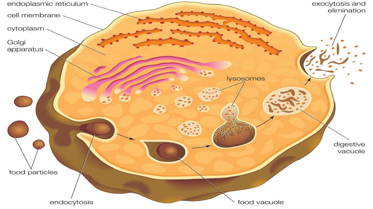 Endocytosis and exocytosis. - YouTube