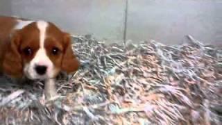 Cavalier King Charles Video 2-12-11 Dogcenter