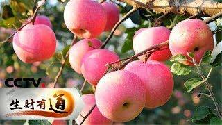 《生财有道》 咱们家乡有特产——河南陕州:苹果迎来丰收季 20181128 | CCTV财经