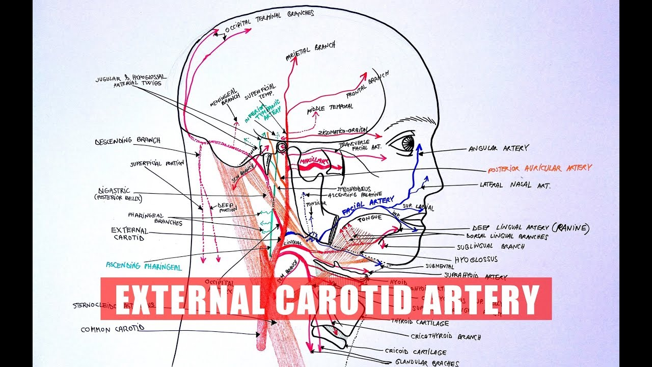 ANATOMY Tutorial - External Carotid Artery Branches - YouTube