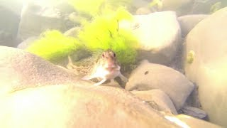 Blennies @ Kimmeridge with GoPro HD