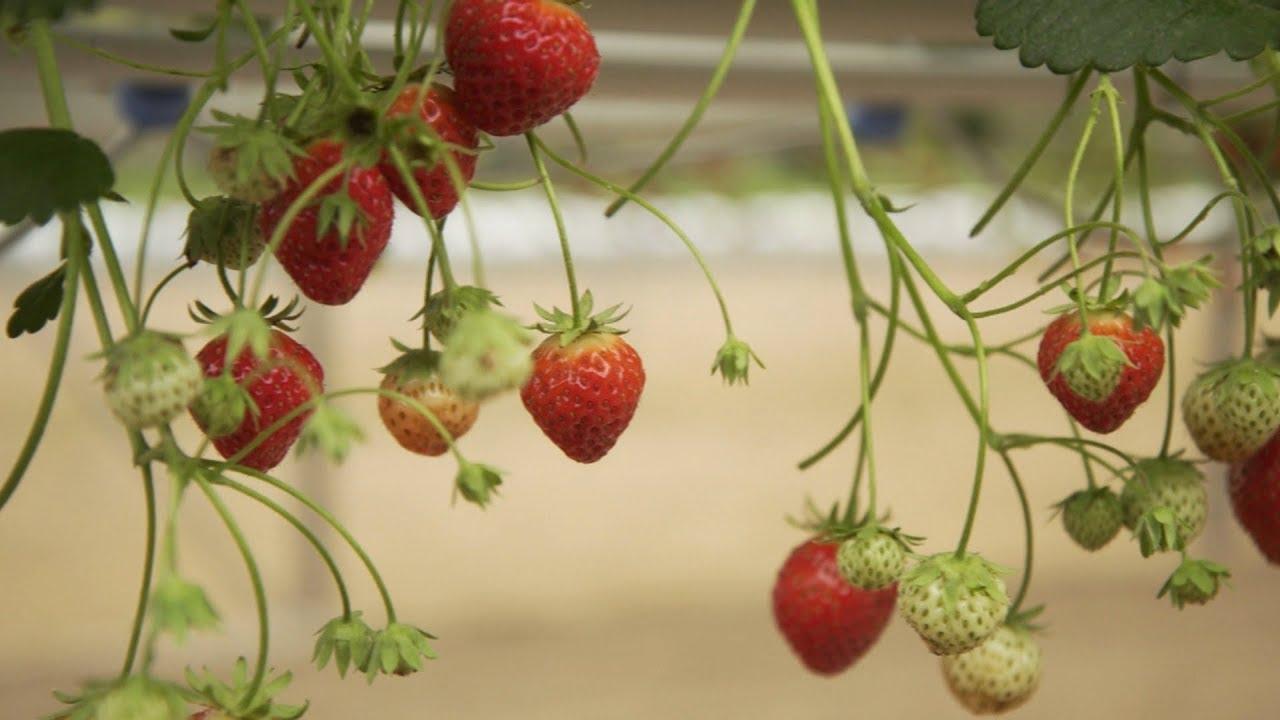 Les Basques aussi ont leurs fraises