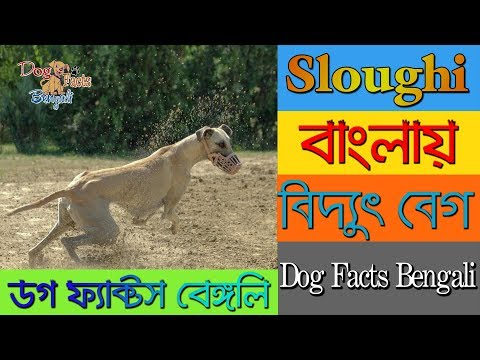 Sloughi dog facts in Bengali | African Dog Breed | Sighthound | Dog Facts Bengali