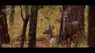 Curiosity of Deer