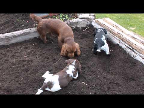 Garden Helpers - Sussex Spaniel & English Springer Spaniels