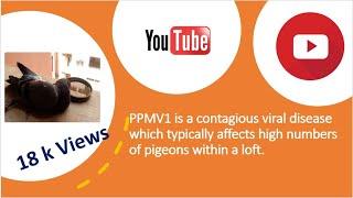 newcastle disease pigeon