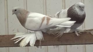 Tauben / Pigeons / Мои голуби / Germany / 01.01. 2017 / Рассказываю про породу голубей-тасманы 1 ч.