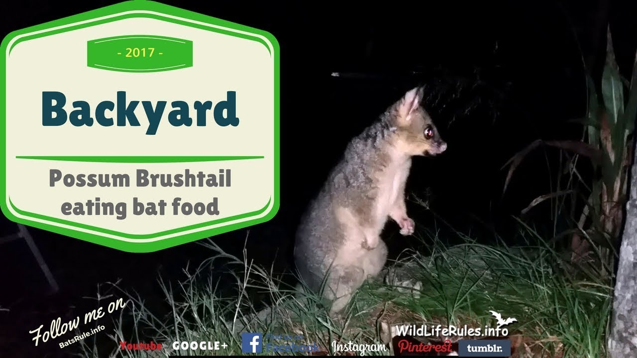 possum backyard part 19 this possum isnu0027t playing as it