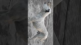 German Shepherd Vs Pakistani Bully LATEST VIDEO