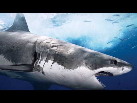 Freshwater Shark Attacks!  2,000 Sharks Released?