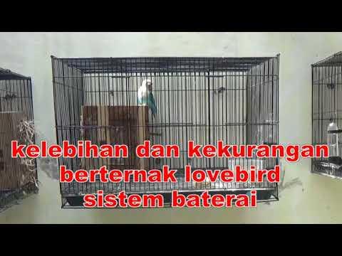 kelebihan dan kekurangan berternak lovebird sistem baterai