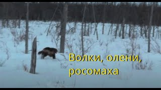 Эвенкийский олень. Волки, олени, росомаха.