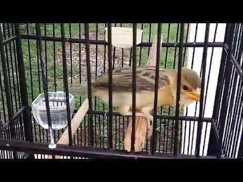 Burung Manyar Muda Aktif Dan Lincah