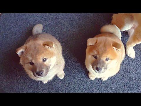 He protecc his brolo - MLIP / Ep 113 / Shiba Inu puppies