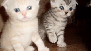 Мелкие котята играют и дерутся. Шотландские Вислоухие озорники.