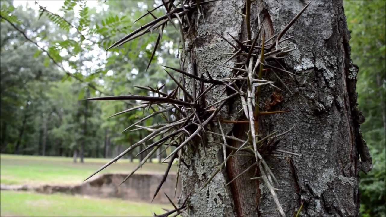what tree has thorns on the trunk