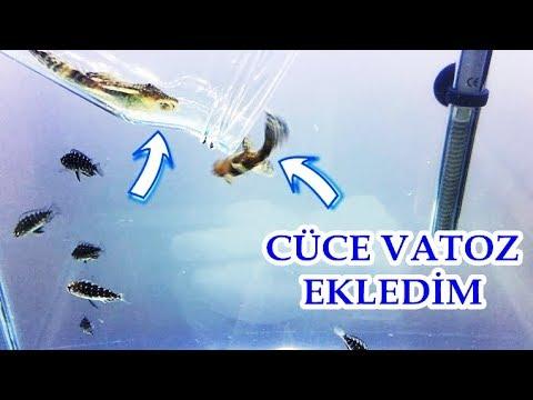 Cüce Vatoz Ekledim | 1 Erkek 2 Dişi | Home Made Aquarium