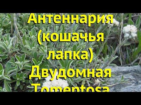 Антеннария двудомная Томентоса. Краткий обзор, описание характеристик antennaria dioica Tomentosa