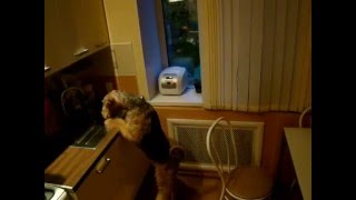 Эрдельтерьер один дома. Airedale home alone.