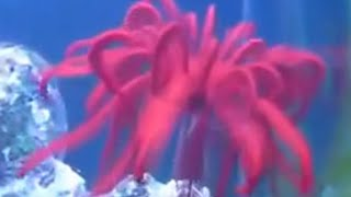 Swimming Crinoids (Feather Starfish): the living Fossil