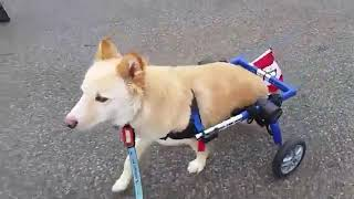 Lt. Dan the 2-Legged Dog Gets Wheels!