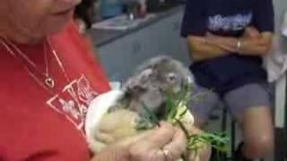 Repeat youtube video Baby Koala - Tinkerbell