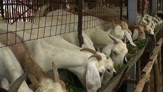Goat rearing sample clip hindi - बकरी का पालन